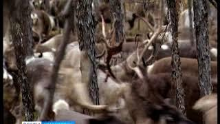 На севере Красноярского края сокращается популяция оленя