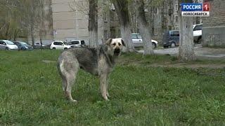 Агрессивные уличные псы нападают на детей в поселке Гвардейском