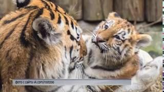 В Ярославский зоопарк привезли амурскую тигрицу