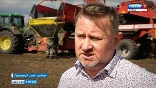 В Алтайском крае овощеводы планируют собрать неплохой урожай картофеля