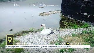 Раненый лебедь прилетел за помощью к людям