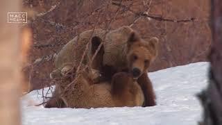 Камчатские медведи выходят из спячки
