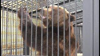 В Ханты-Мансийске готовятся к празднованию дня рождения медведя Степана