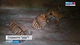 На новорождённых барнаульских тигрят уже поступают заявки из других зоопарков