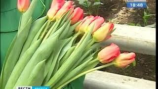 Короли весны. В Горзеленхозе срезали первые тюльпаны