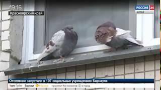 Голубиная стая терроризирует жителей одного из дворов города в Сибири