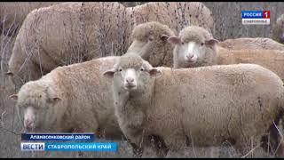 Зачем на Ставрополье безрогие бараны