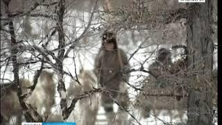 В Эвенкии ради спасения оленей разрешили отстрел волков
