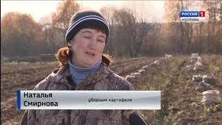 В «Сусанинском питомнике» в Костромской области всем миром спасают урожай картофеля
