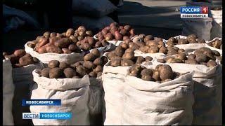 На рынках Новосибирска начали продавать  картофель нового урожая