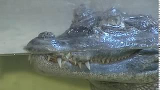 Лисы, еноты и крокодилы: необычные домашние животные ярославцев