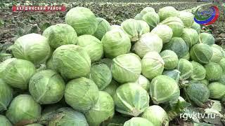 В Дагестане проходит сбор урожая овощей