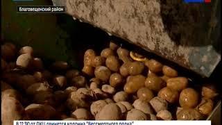 Хозяйства Приамурья рассчитывают собрать до 300 000 тонн картофеля в 2018 году