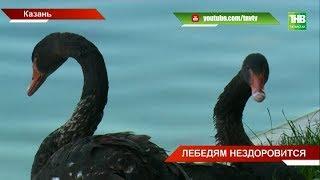 Казанские лебеди-оракулы на Чёрном озере приболели - ТНВ