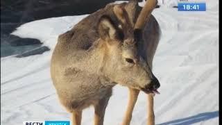 Косулю спас на льду Байкала инспектор ГИМС