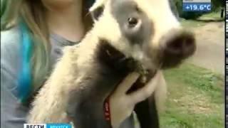 Маленький Бонус  Детёныш барсука появился в Иркутской зоогалерее