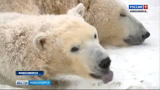 В День полярного медведя в Новосибирском зоопарке поздравили Кая, Герду и их сына Ростика