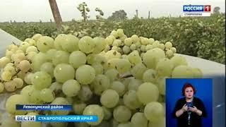 Левокумские виноградари идут на рекорд