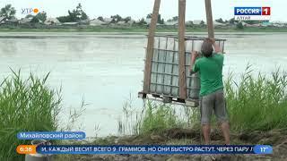 10 тысяч сазанов выпустили в водоём в Михайловском районе
