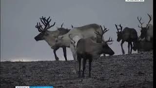 На севере края продолжается научная экспедиция по изучению популяции животных