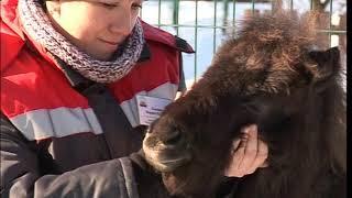 В Ярославском зоопарке появились новые обитатели - миниатюрные лошадки фалабелла