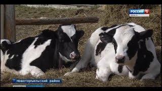 28 тонн молока в сутки получают на одной из ферм Новоторъяльского района - Вести Марий Эл