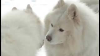 Массовая прогулка самоедов. Челябинские собаководы устроили веселые старты для четвероногих