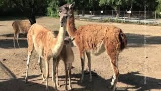 В Ростовском зоопарке родился гуанако