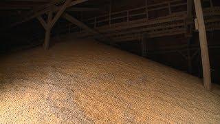 Волгоградская кукуруза отправляется на экспорт в Иран