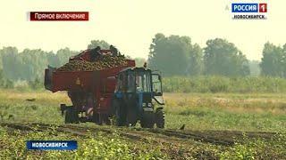 Сельхозпредприятия Новосибирской области приступили к уборке картофеля