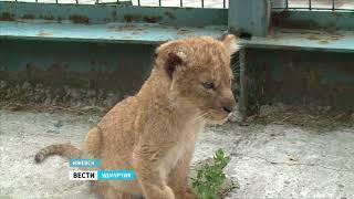 Первая прогулка львят в Зоопарке Удмуртии