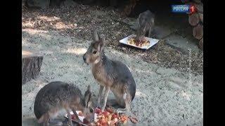 В зоопарке Ростова поселились патагонские мары