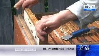 «Вести: Приморье»: Почему пчеловоды края рады летнему зною?
