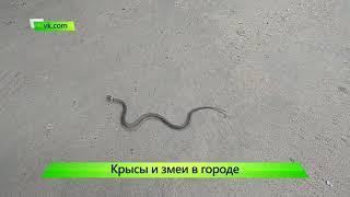 Змеи и Крысы