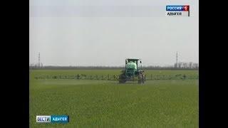 В самом хлебном районе Адыгеи на четверть сократилось производство пшеницы