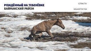 Новорожденный жеребёнок в полях Башкирии