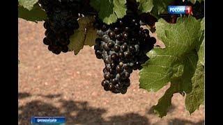 Будущий брют, сидр и кальвадос: на Дону готовятся к уборке урожая винограда