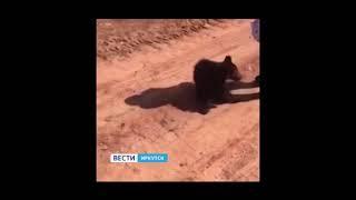 Заблудившегося медвежонка вернули в тайгу спасатели в Усть-Куте