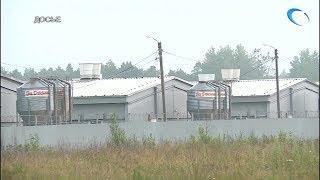 В Волотовском районе начинается уничтожение поголовья на предприятии «Новгородский бекон»