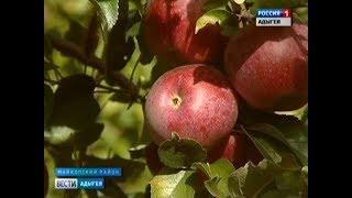 В Майкопском районе идет сбор яблок