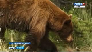 Нашествие медведей в Красноярском крае: дикие звери нападают на домашних животных