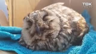 в Красноярске сова залетела на автосервис и потеряла сознание