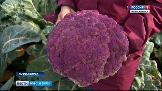 Новосибирские селекционеры приступили к выведению новых сортов капусты