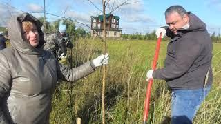 В Переславле появилась новая березовая аллея
