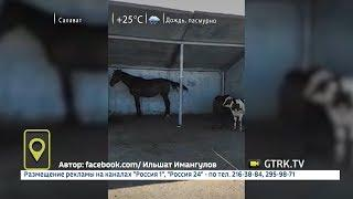 В Башкирии лошади и коровы прячутся от солнца на остановках