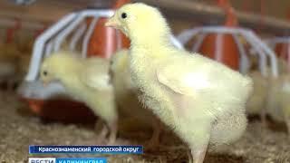 В Калининградской области открылась новая бройлернаяптицефабрика
