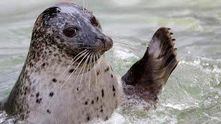 Спасенные людьми балтийские тюлени вернулись в дикую природу …