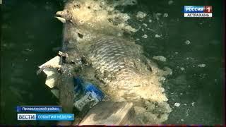 В Астраханской области зафиксирована массовая гибель рыбы