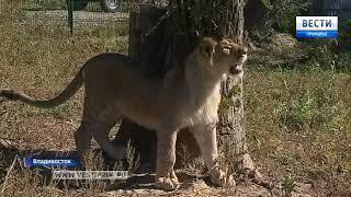 В зоопарке Владивостока пополнение — самый известный в городе лев наконец обрел свой дом