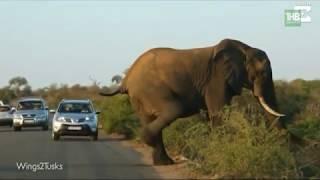 Сплошные проколы! Неудачливые воришки, эффективное оружие и вальяжный слон - ТНВ
